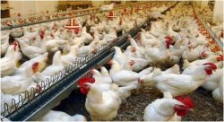 Construction of the «Karmakshy kus» poultry farm with a capacity of 1500 tons of poultry meat per year